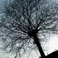 冬のクリの木
