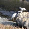 川に立つアオサギ