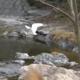 飛び立つシラサギ