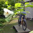 オオヤマレンゲの花
