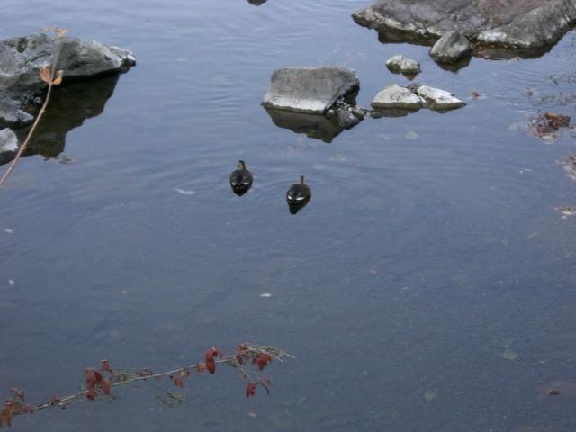 川のカルガモ