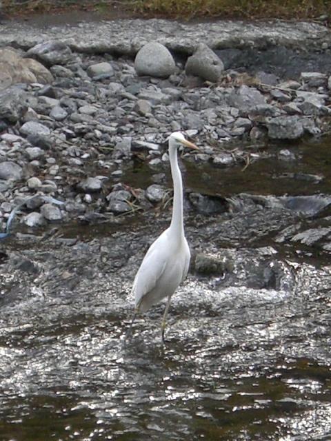 川を渡るシラサギ