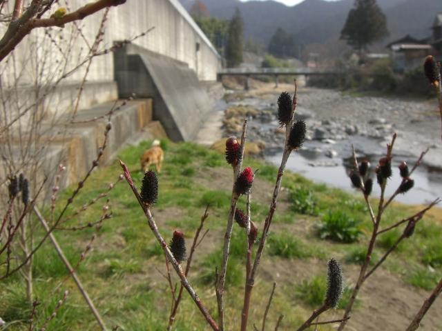 クロヤナギの芽