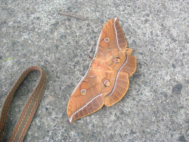 葉っぱのような蛾