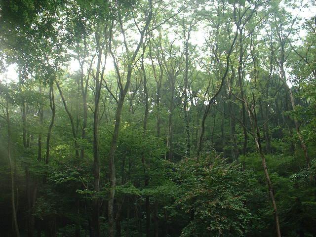 ニセアカシアの森