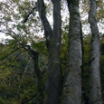 裏山ライド 大きな木
