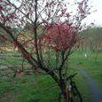クリ園の桃の木