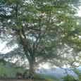 八徳のサクラの木