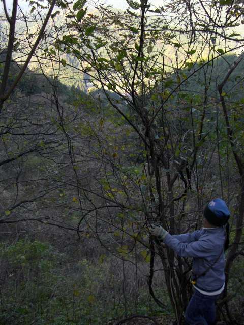 木蔦を採取する中国人(うそ)