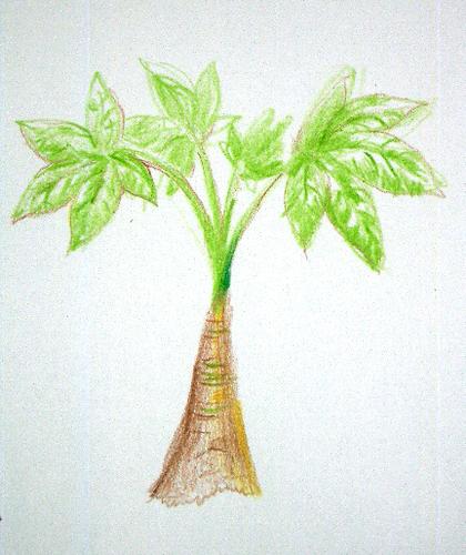 パチラの木