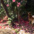 椿の花の下で